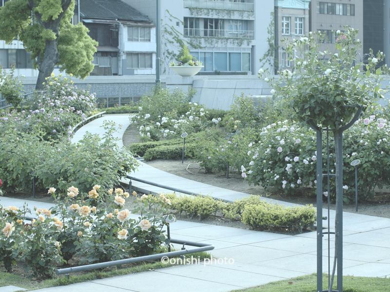 中之島公園 バラ園