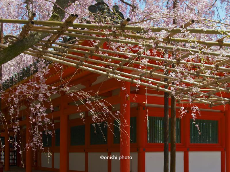 平安神宮 桜