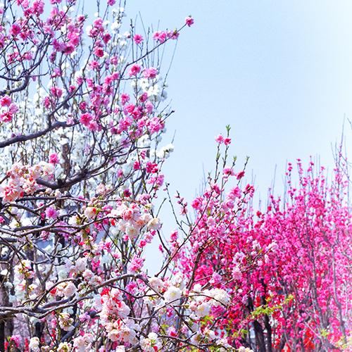 桃の花 時期